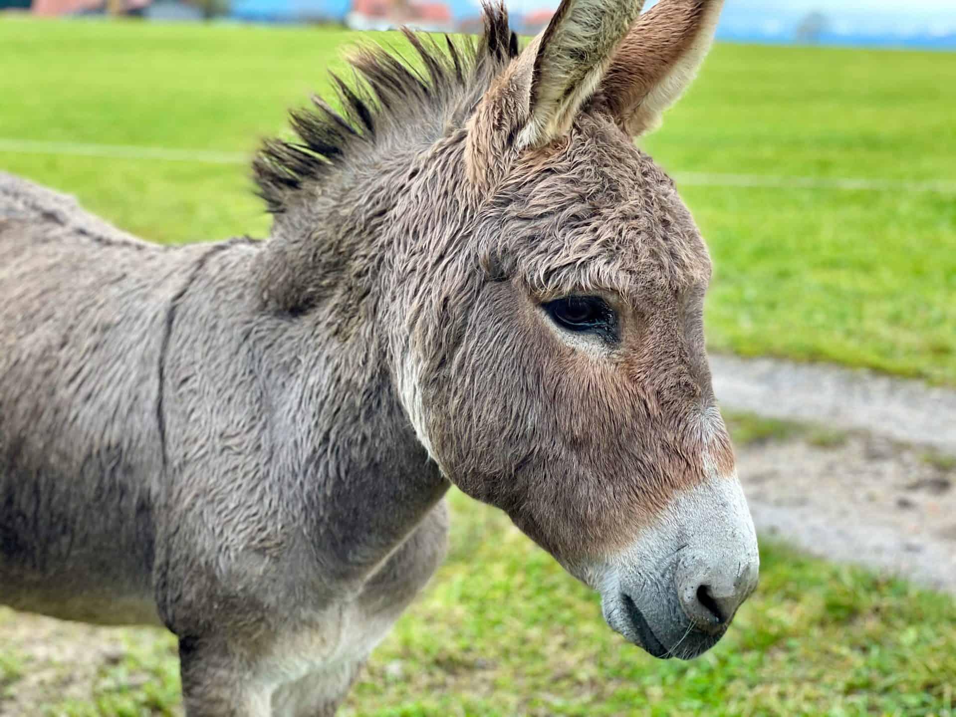 Eselhof-Allinger-schöner-Esel